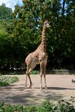 African giraffe in the zoo of Dresden Germany. A lonely African giraffe in an aviary in the zoo of Dresden Germany royalty free stock photo