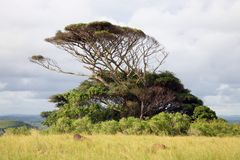 Lonely african tree Royalty Free Stock Image