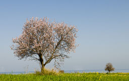 Lonely Almond tree Royalty Free Stock Images