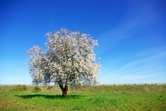 Lonely  almond tree in green field. Royalty Free Stock Photo