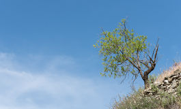Lonely almond tree on the slope of a hill Royalty Free Stock Images