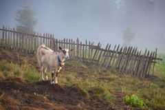 Lonely alone goat on the mountain pasture royalty free stock photos