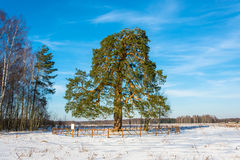 Lonely ancient 500 year old branched pine tree. Royalty Free Stock Images