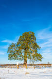 Lonely ancient 500 year old branched pine tree. Royalty Free Stock Photography