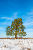Lonely ancient 500 year old branched pine tree. Stock Images