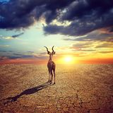 Lonely antelope in dry country with cracked soil under dramatic evening sunset sky. Climate Change and Global warming concept. Lonely antelope in dry country royalty free stock photography