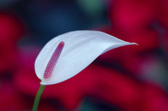 Lonely Anthurium Royalty Free Stock Image