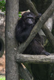 Lonely Ape. This ape is one of many collections from Ragunan Zoo Jakarta Indonesia stock images