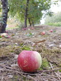 Lonely Apple Royalty Free Stock Images