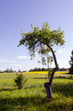 Lonely apple tree. Royalty Free Stock Images