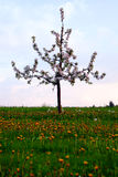 Lonely apple tree Royalty Free Stock Photos