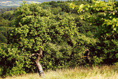 Lonely apple tree Stock Photography