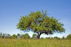Lonely apple tree Stock Image