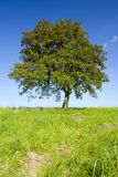 Lonely apple tree Royalty Free Stock Photography