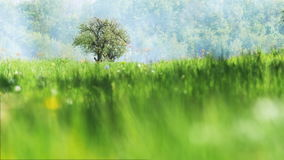 Lonely Apple-Tree On a Green Meadow. Lonely blooming apple tree on a green meadow, against a background of blue fog or smoke, In the foreground the green grass stock footage