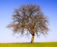 Lonely apple tree Stock Photo