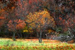 Apple tree between oks in a autumn day royalty free stock photos