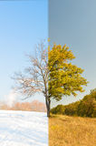Lonely apricot tree in different seasons Stock Photo