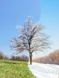 Lonely apricot tree in different seasons Stock Image