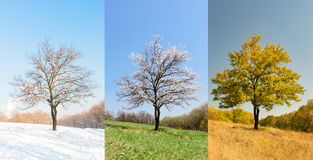 Lonely apricot tree in different seasons Stock Images