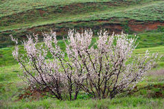 Lonely apricot tree at flowering time Stock Images