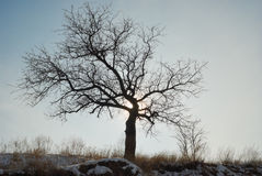 Lonely apricot tree on a hill against winter sky Royalty Free Stock Photography