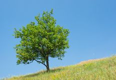 Lonely apricot tree Royalty Free Stock Photos