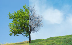 Lonely apricot tree on a hill in two season Stock Photos