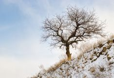 Lonely apricot tree on a hill - winter version. Royalty Free Stock Photos