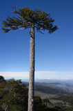 Lonely araucaria. Old and lonely giant araucaria tree on the top of Nahuelbuta within the protected area Nahuelbuta National Park, Chile Royalty Free Stock Photos