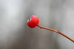 Lonely ashberry on a small branch Stock Image