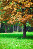 Lonely autumn chestnut tree. Royalty Free Stock Photography