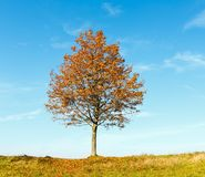 Lonely autumn maple tree on blue sky background. Lonely autumn maple tree on sunny hill top on blue sky background Stock Images