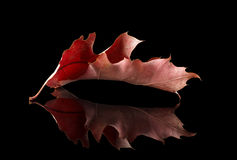 Lonely autumn red oak leaf isolated over black Royalty Free Stock Photography