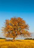 Lonely autumn tree. Lone tree in autumn, near my hometown Stock Images
