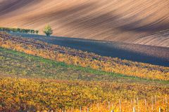 A lonely autumn tree against the background of the moravian fields and lines of autumn vineyards. Amazing autumn landscape royalty free stock photography