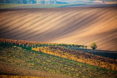 A lonely autumn tree against the background of the moravian fields and lines of autumn vineyards. Amazing autumn landscape of the. Czech Tuscany South Moravia royalty free stock images