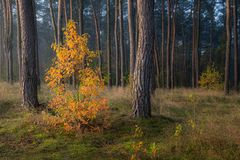 Lonely autumn tree in forest full of green pines Royalty Free Stock Photography