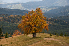 Lonely autumn tree Stock Images