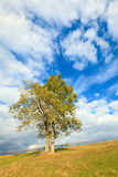 Lonely autumn tree on sky background. Stock Photography