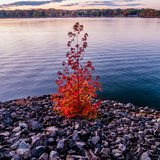 Lonely autumn tree Stock Photos