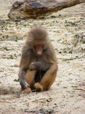 Lonely baboon Stock Photo