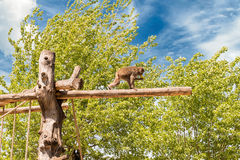 Lonely baboon walking on a trunk at the zoo Royalty Free Stock Photos