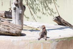 Lonely baboon at the zoo in Rome, Italy Royalty Free Stock Images
