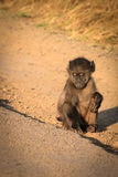 Lonely baby baboon. A lonely baboon waiting for its mum Royalty Free Stock Photos