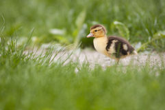 Lonely baby duck stock photos