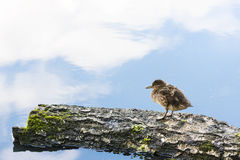 Lonely baby duck on a tree log. Little duckling stands on a tree log or pillet, sky reflection on water in the background Royalty Free Stock Photography
