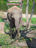 Lonely baby elephant standing around the stump chained in a chain and keep in the trunk of bamboo Stock Photo