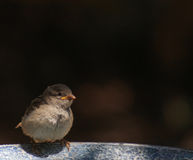 Lonely- baby sparrow Royalty Free Stock Photo
