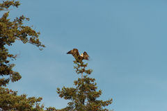 Lonely bald eagle flying in air above trees and forest Stock Photo